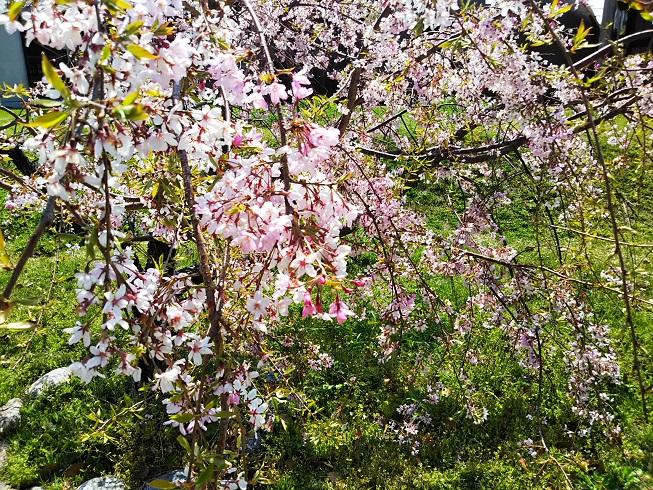 彼杵の荘の桜