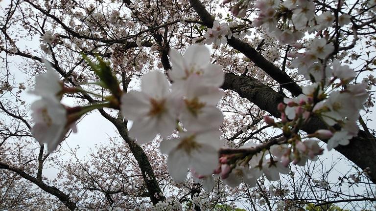 ピンぼけ桜